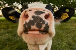 17% reduction in meat consumption is great news for cows